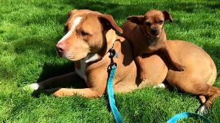 merrill-and-taco-big-small-dog-friendship-28