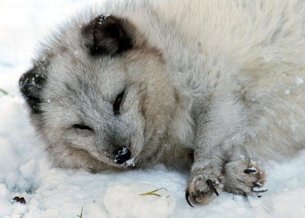 fishermen attempt arctic fox rescue