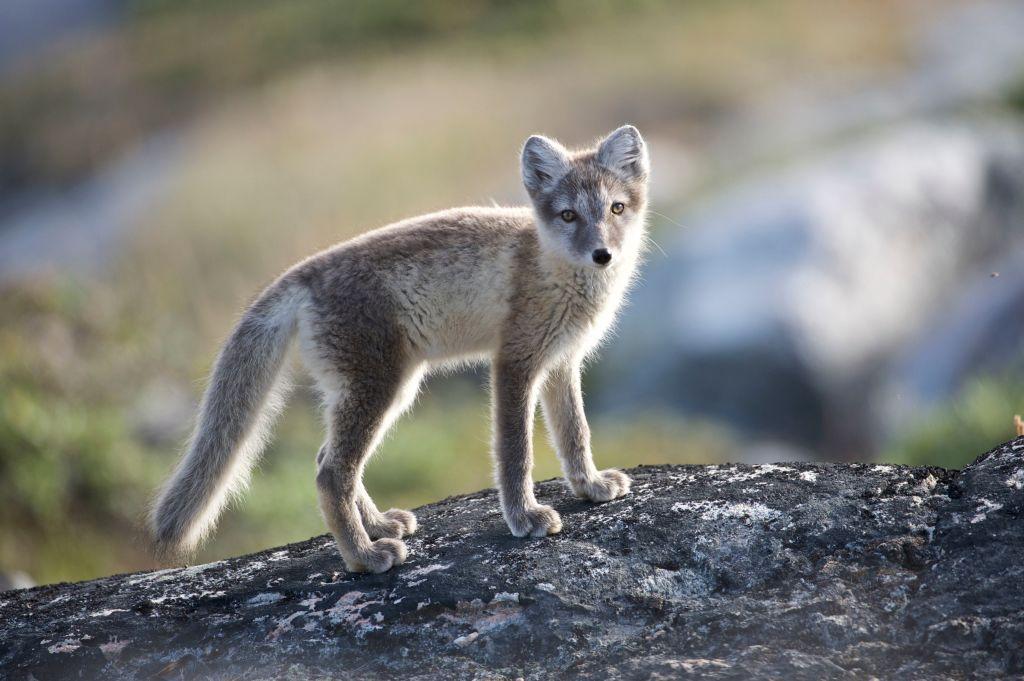 fishermen found arctic fox found on iceberg