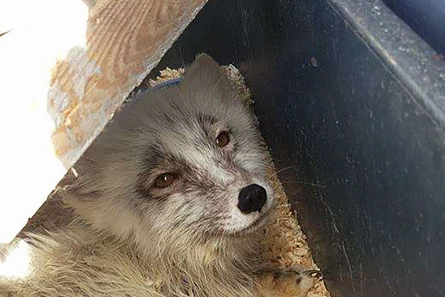 arctic fox coming to new home on canadian coast