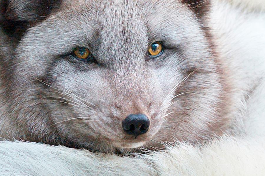 arctic fox doesnt trust fishermen