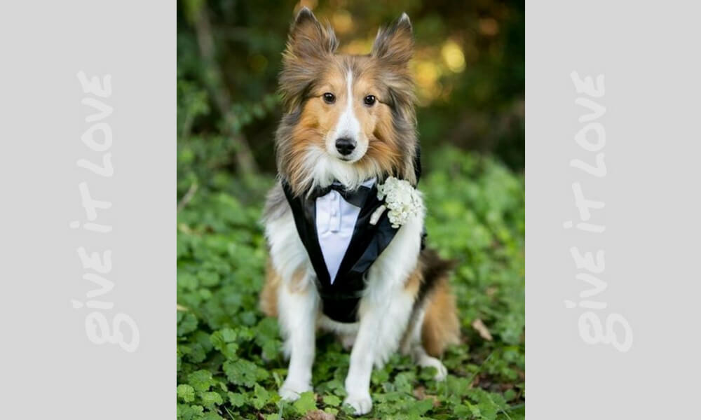 border-collie-wedding-81963-93812.jpg