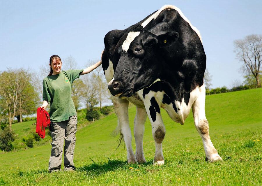 cow-59829.jpg