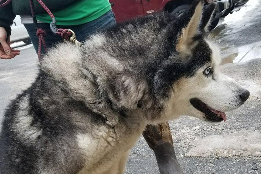husky matterd fur