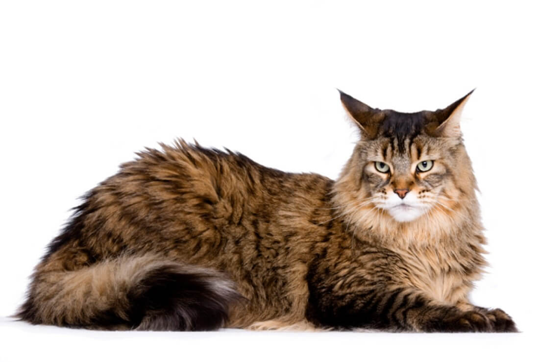maine-cat-18794-94916.jpg