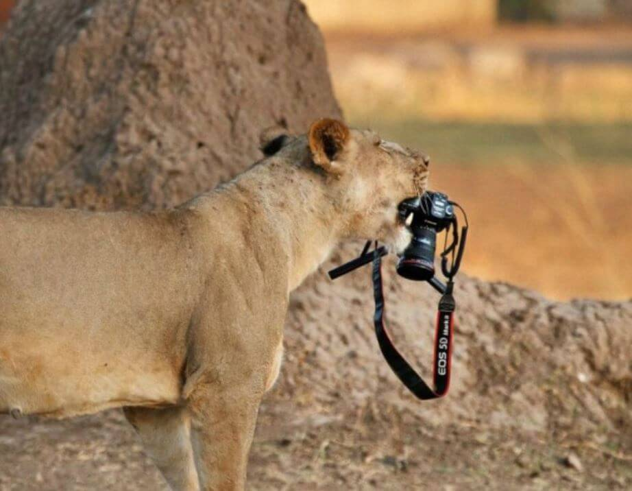tiger with camera