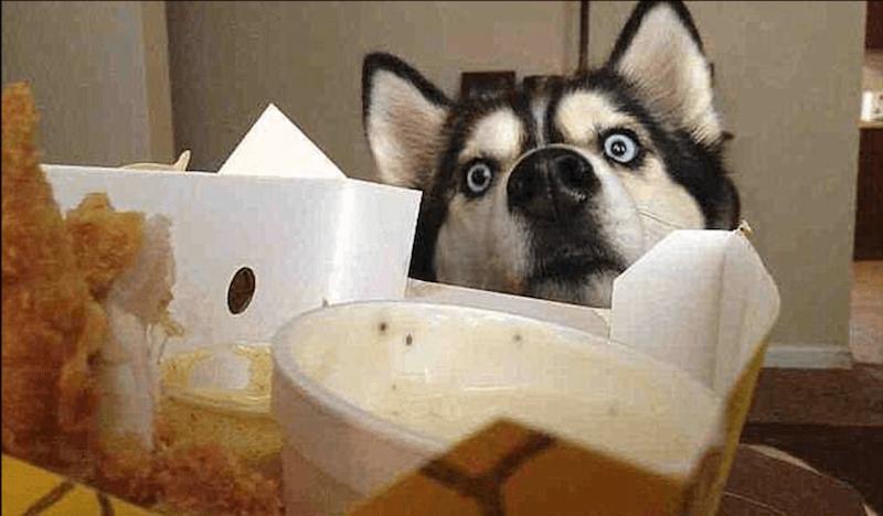 Funny-Dog-Begging-for-chicken-73479-39721.jpg