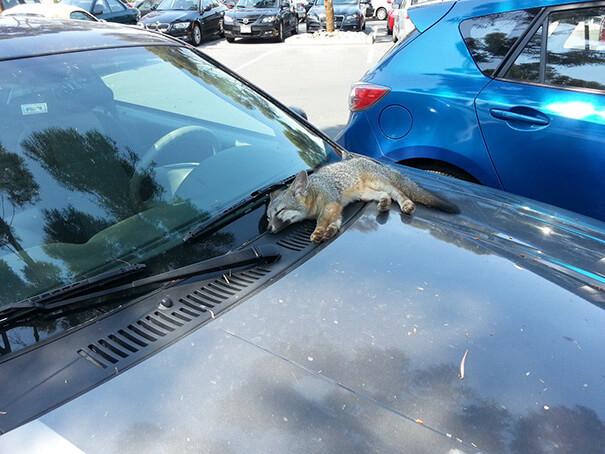 fox-on-car-21419-23491.jpg
