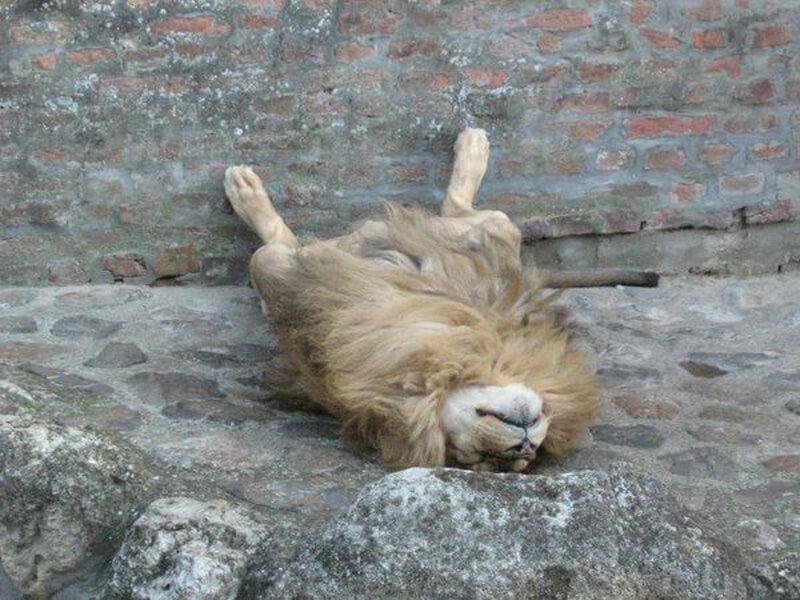 lion-asleep-21416-53909.jpg