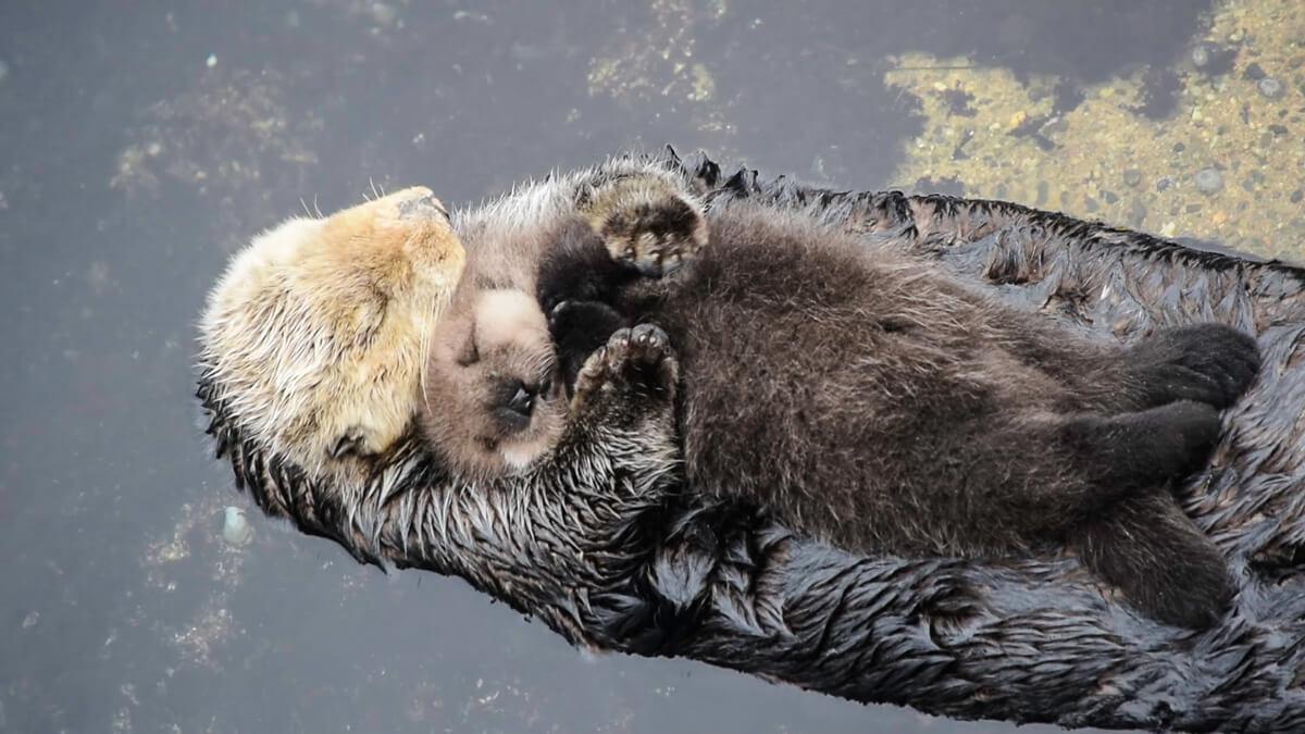 otter-sleeping-on-mom-21417-73558.jpg