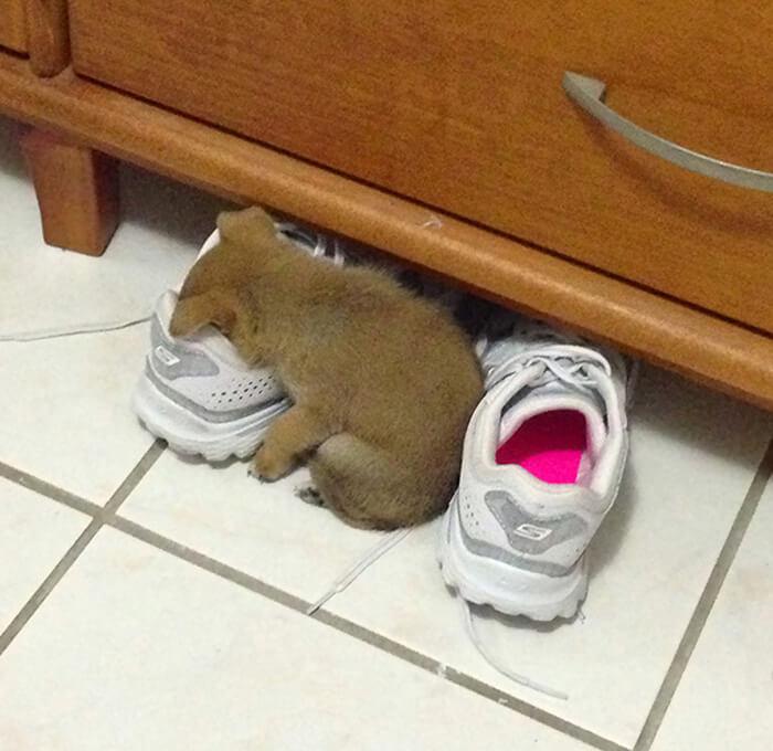 shoe-puppy-asleep-21415-14182.jpg