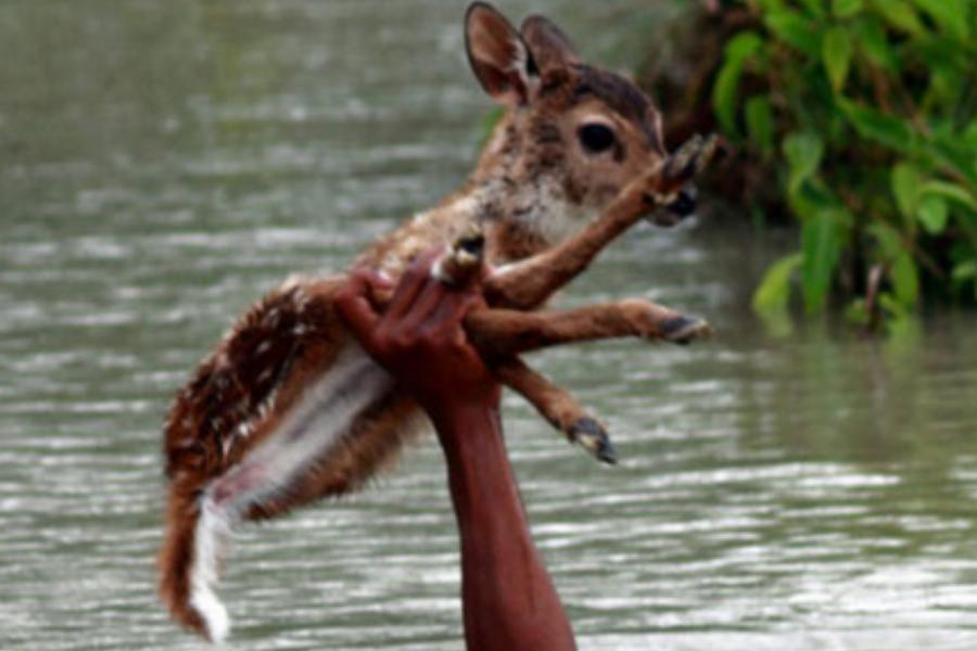 Saving-A-Deer-From-A-Flood.jpg