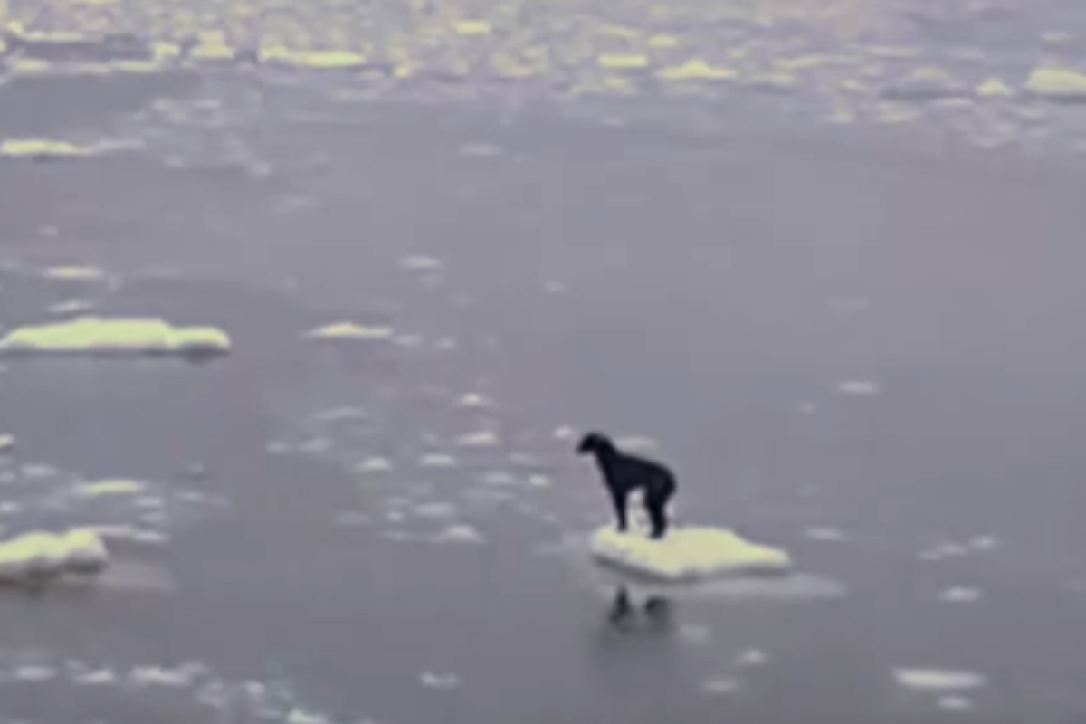 dog russian ice looking for help