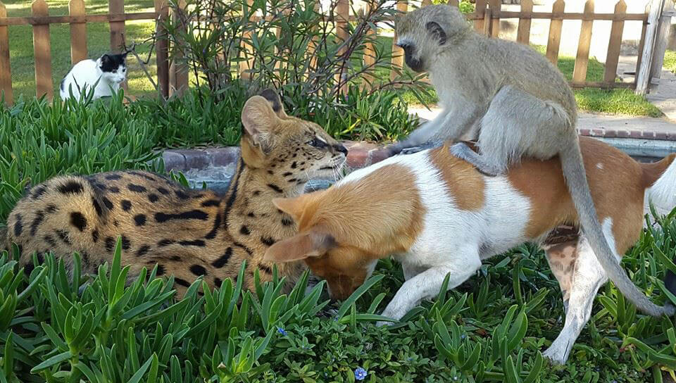 11-orphaned-baby-monkey-makes-unlikely-friends-horace-37746-59674