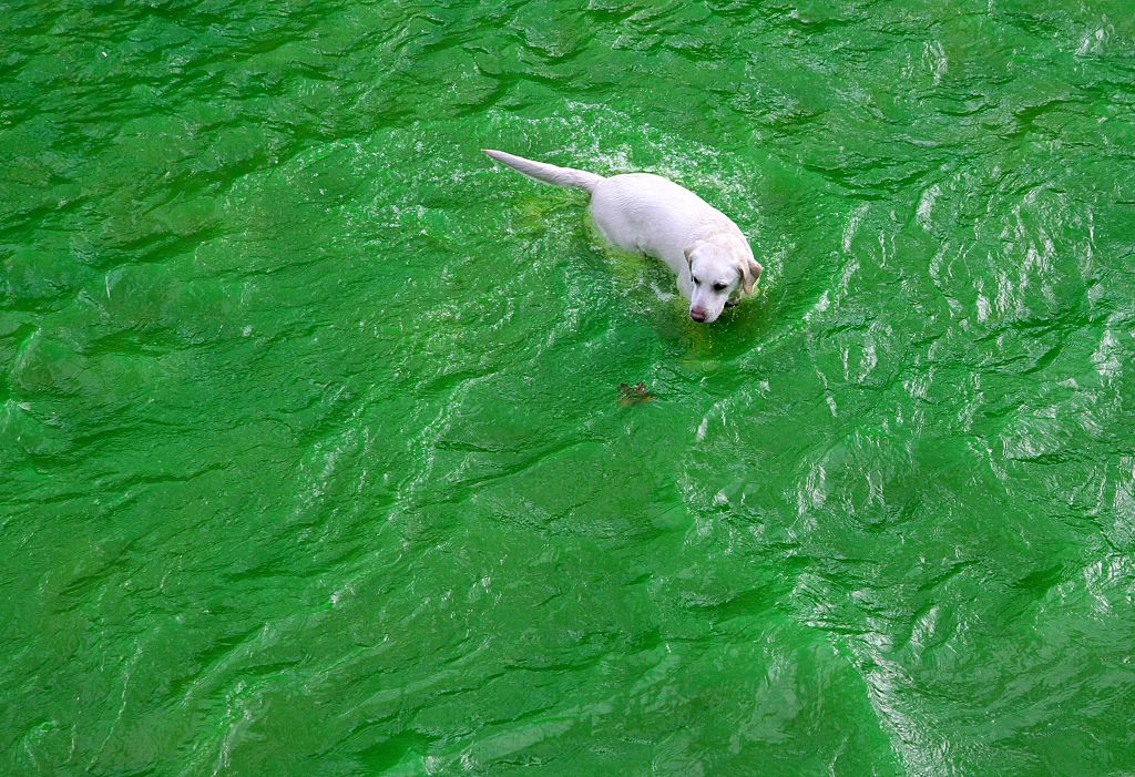 dog in green water st patricks day