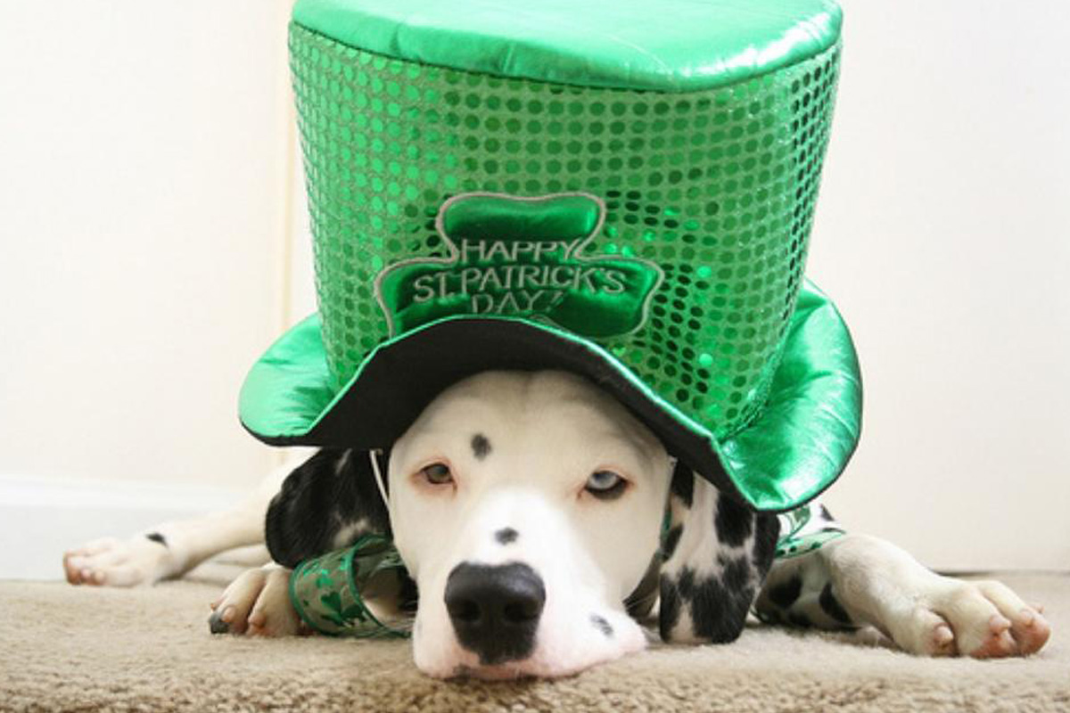 dog big hat st patricks day
