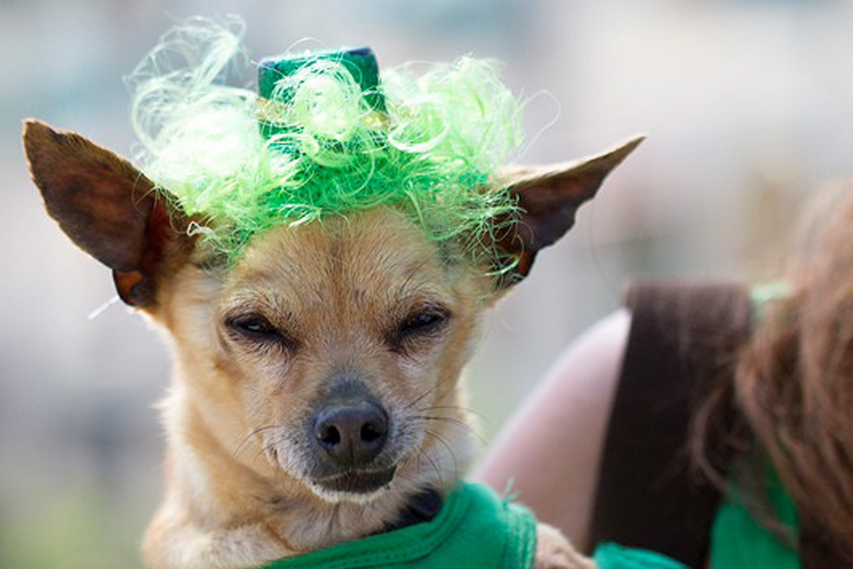 dog green wig st patricks day