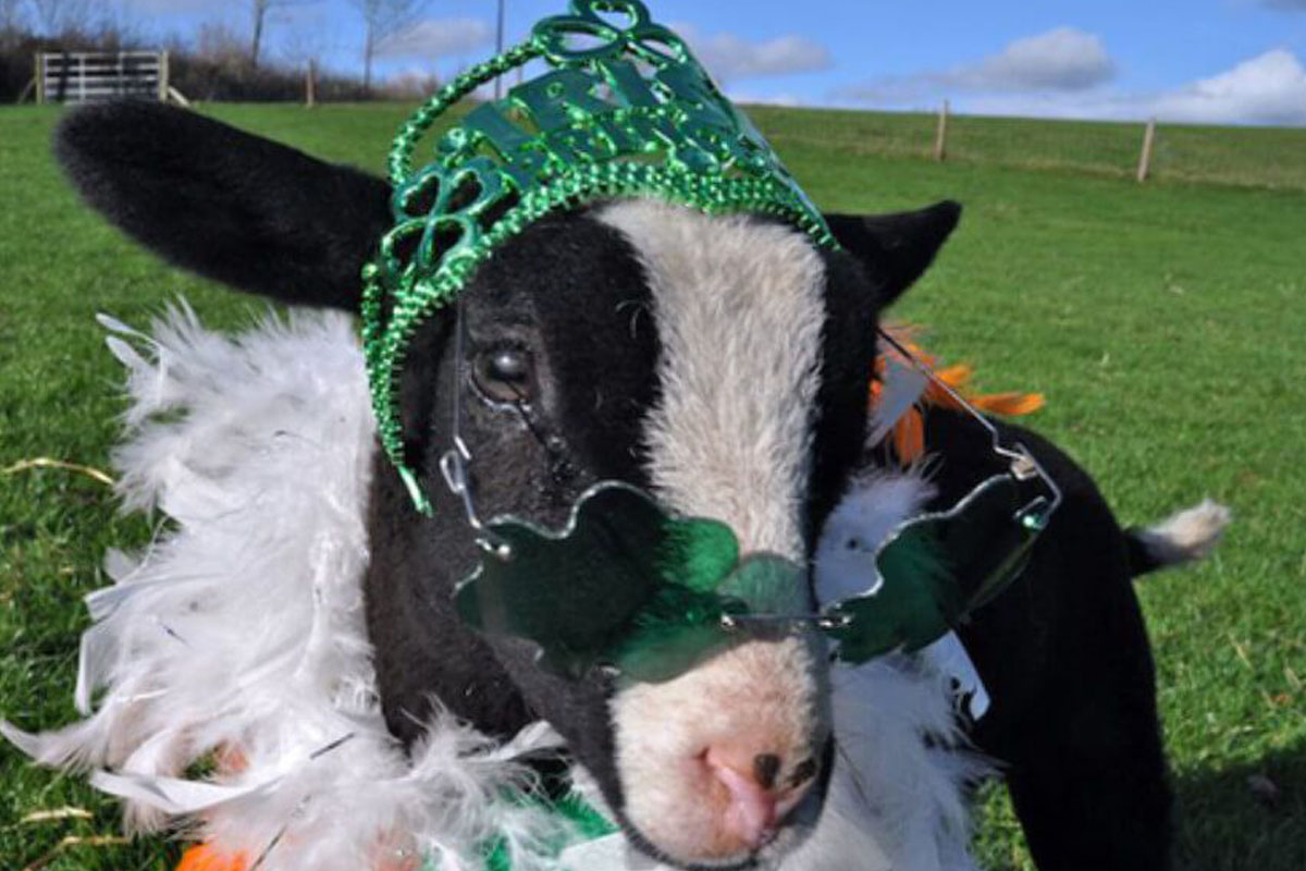 festive holiday cow st patricks day