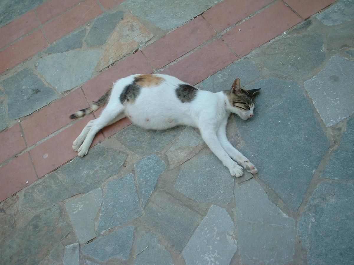 pregnant-cat