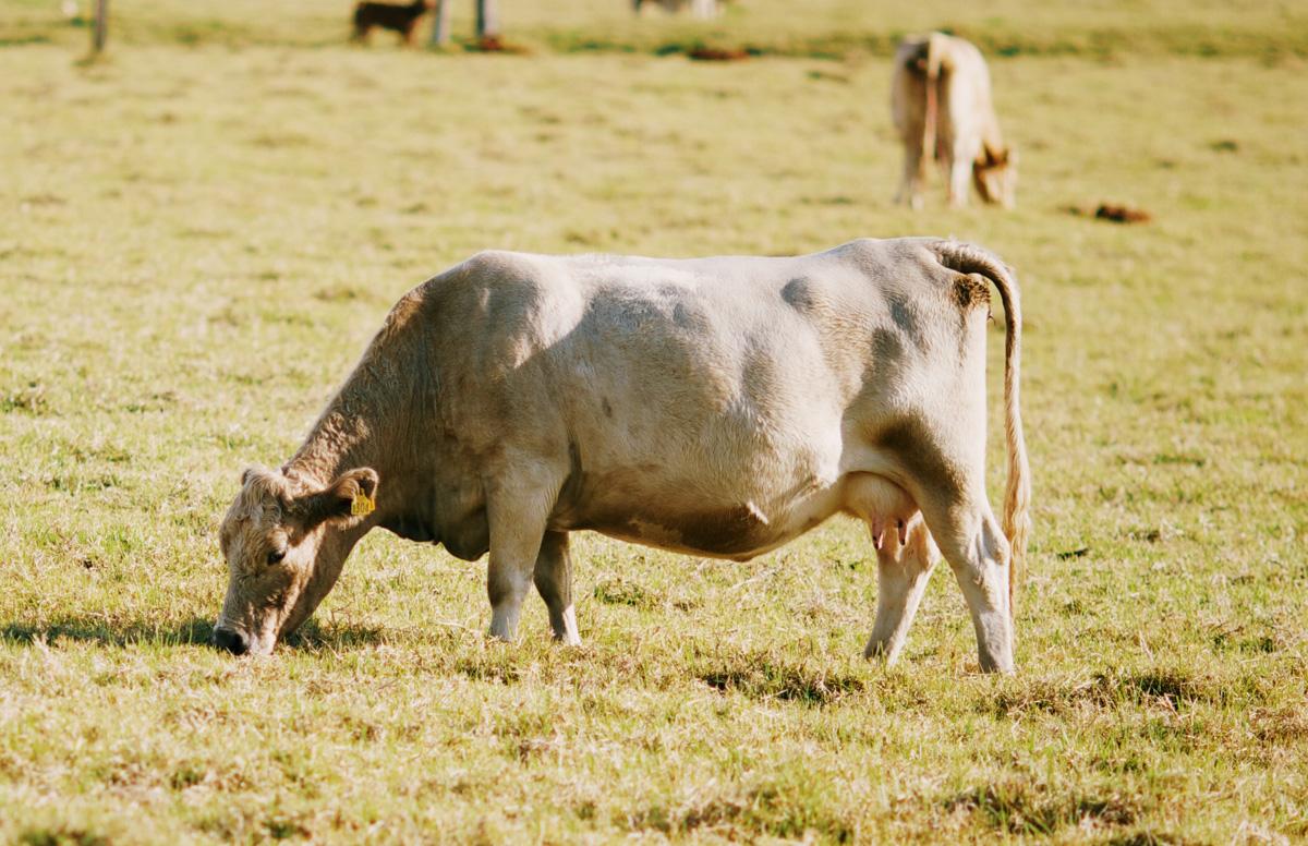 pregnant-cow