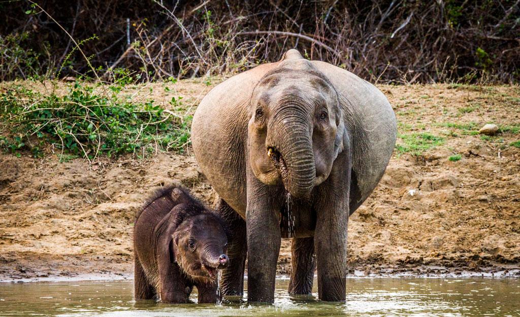 pregnant-elephant-22221