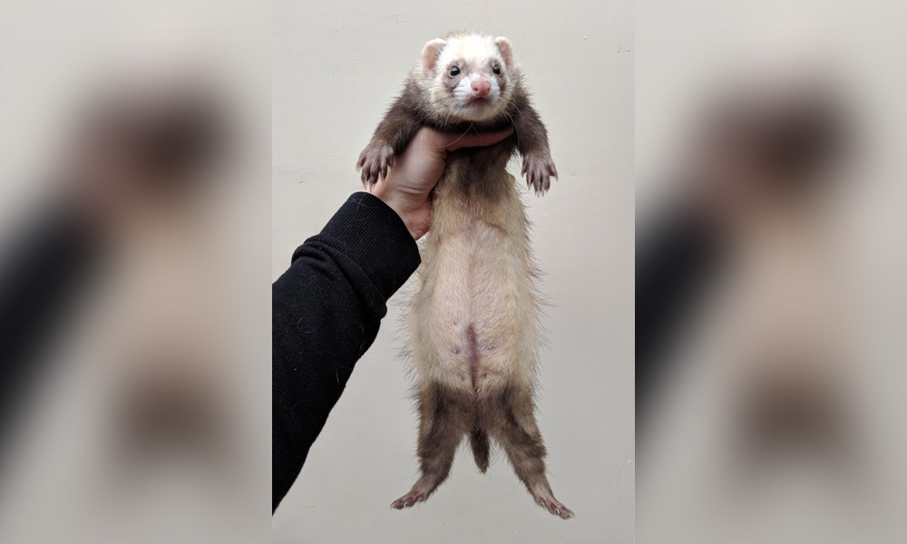 pregnant-ferret