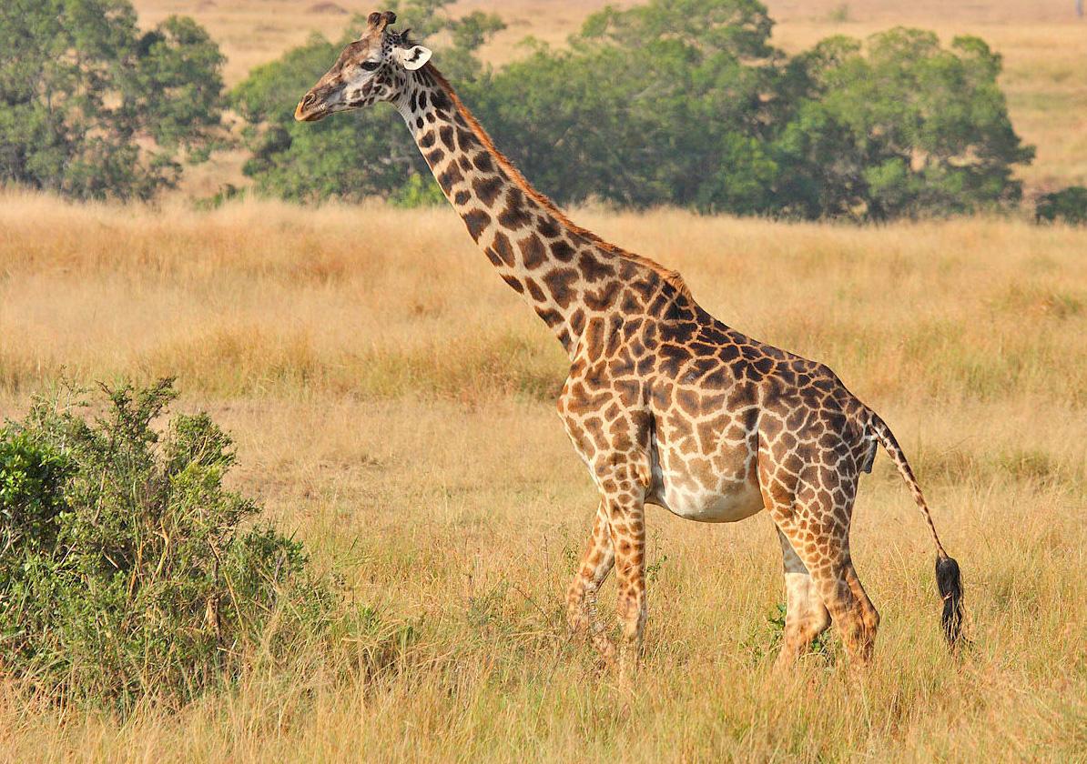 pregnant-giraffe