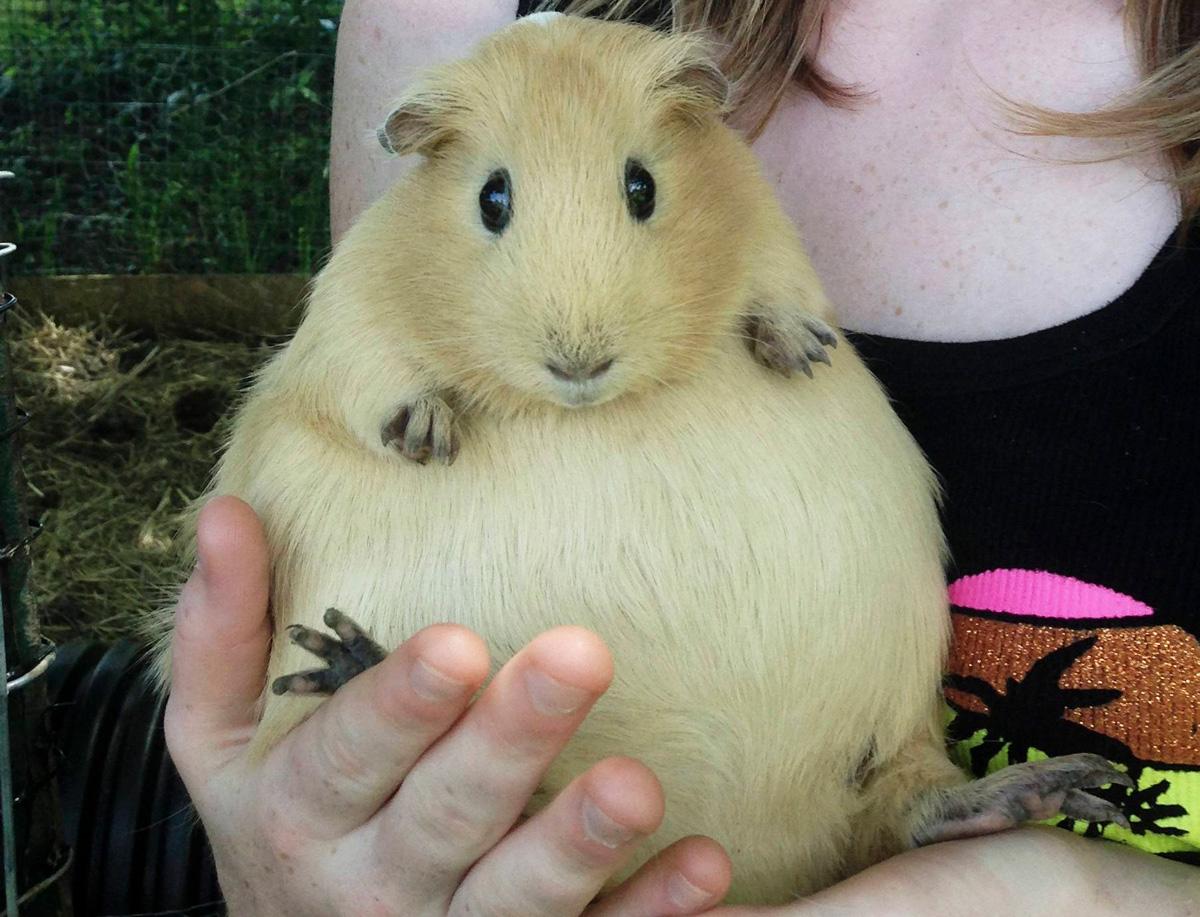 pregnant-guinea-pig