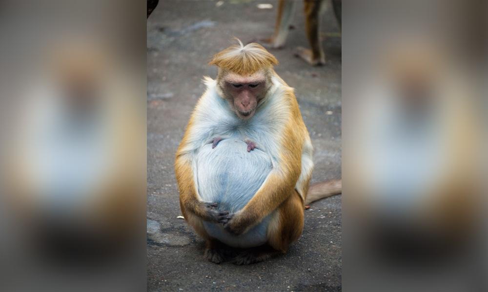 pregnant-monkey