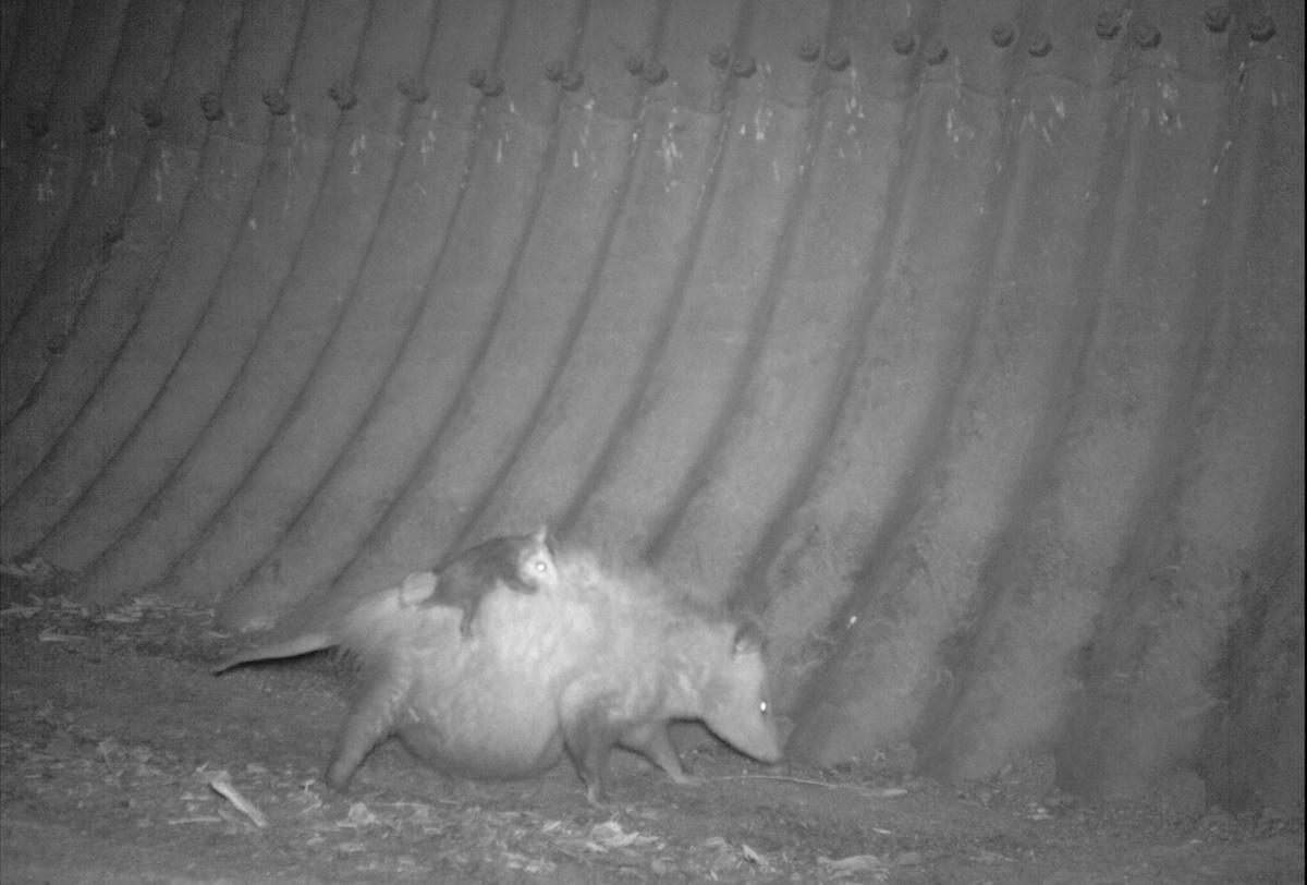 pregnant-opossum