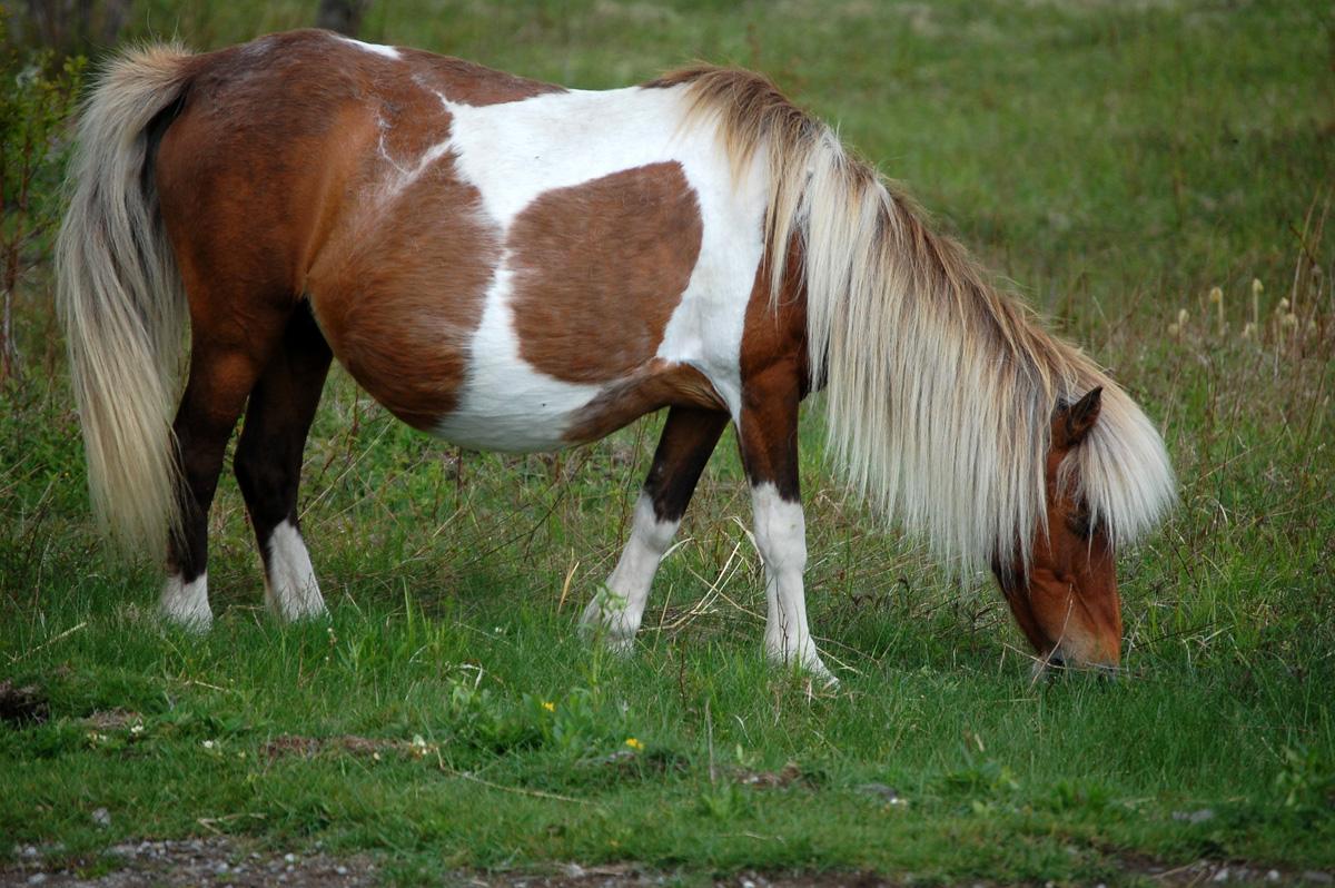 pregnant-pony