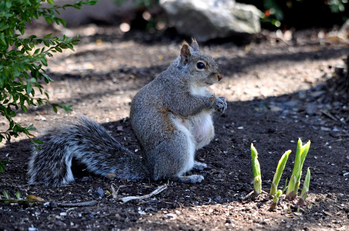 pregnant-squirrel