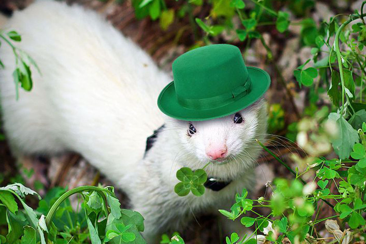 st patricks day ferret in at