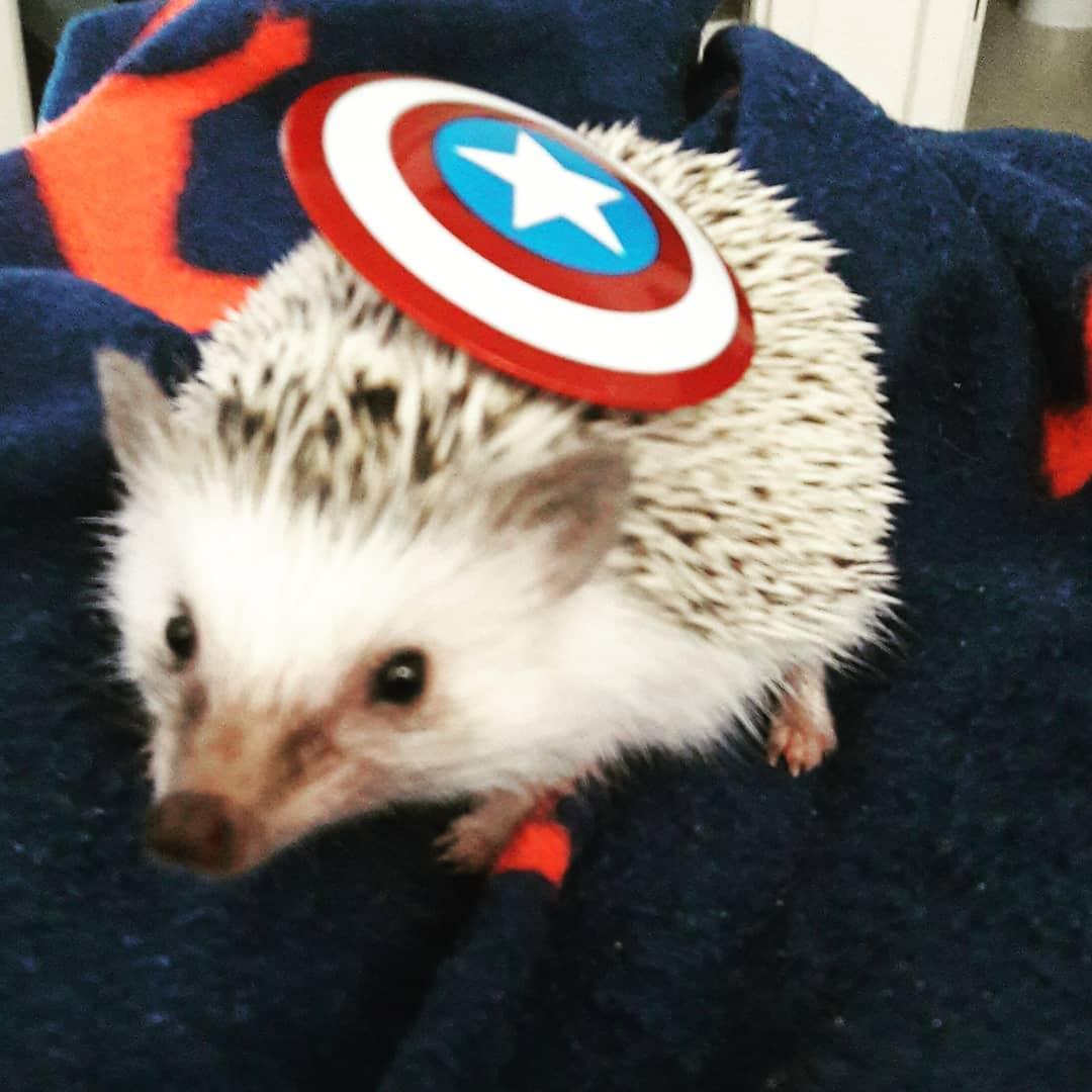 captain america hedgehog marvel pet costume