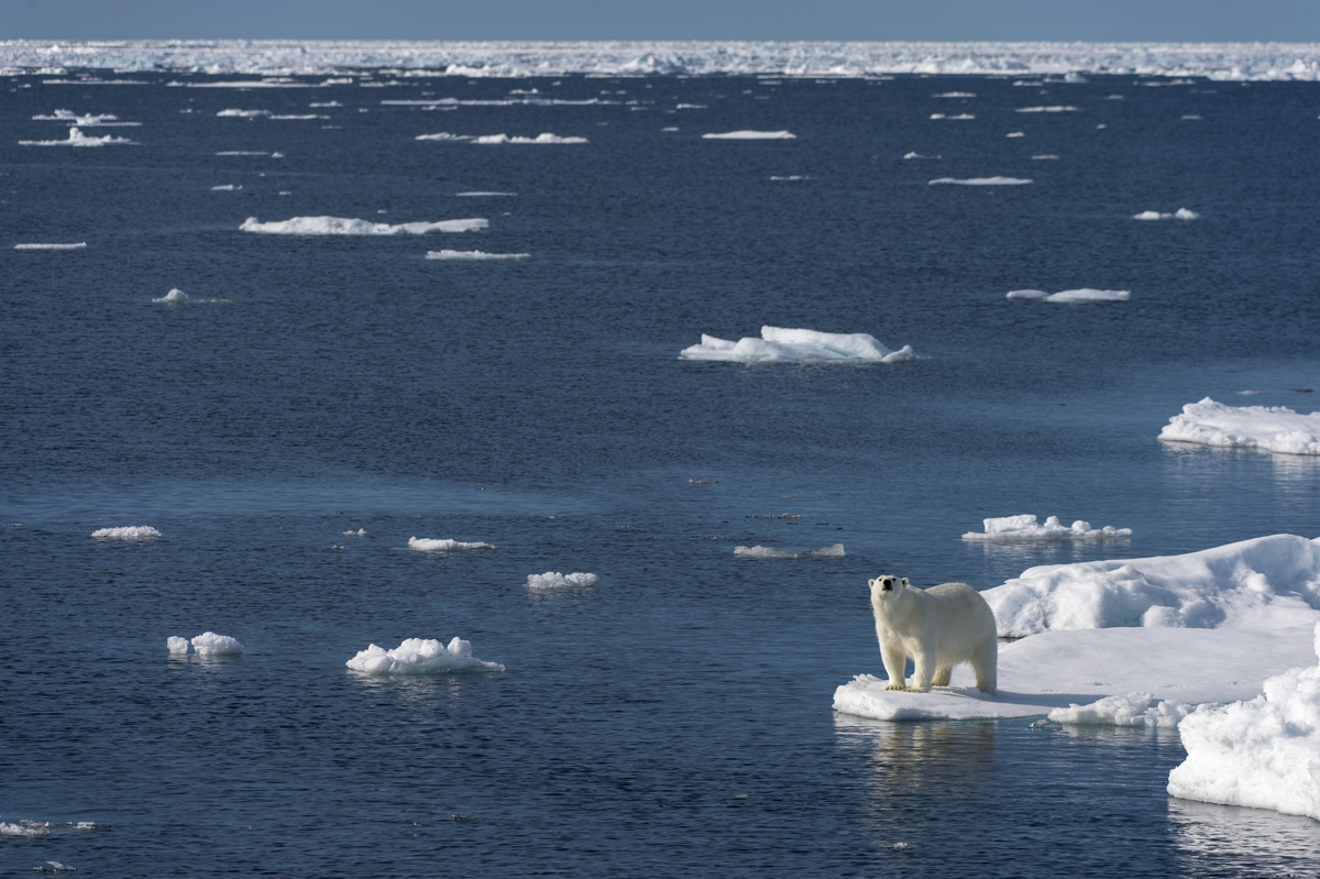 A polar bear looking for food  at the edge of the pack ice