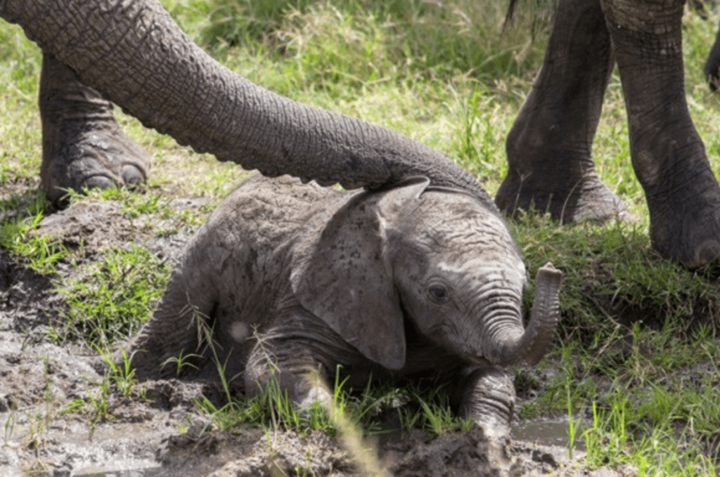 baby elephant stuck in the mud surprising rescue