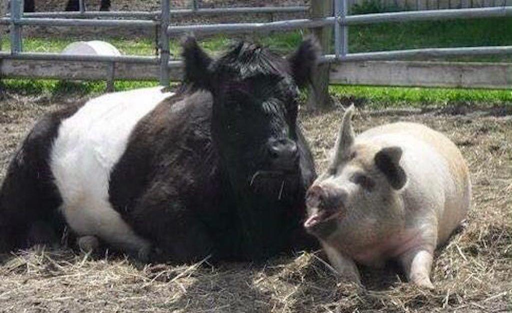cow and pig lying down