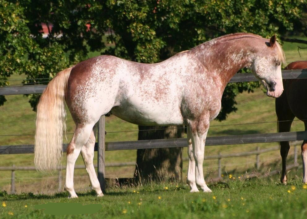 Strawberry Roan Paint horse
