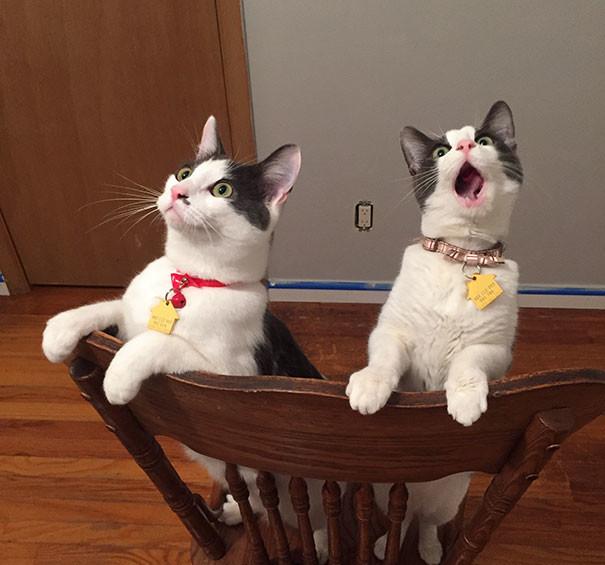 dramatic cat sees ceiling fan