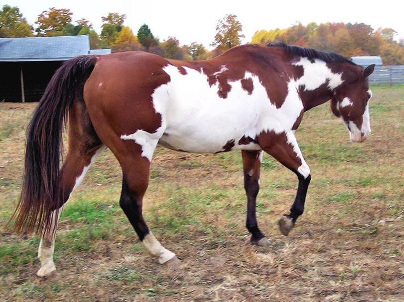 Bay Overo Paint horse