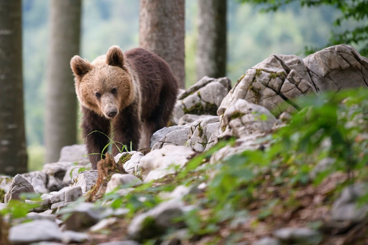 Brown bear Slovenia - June 2018