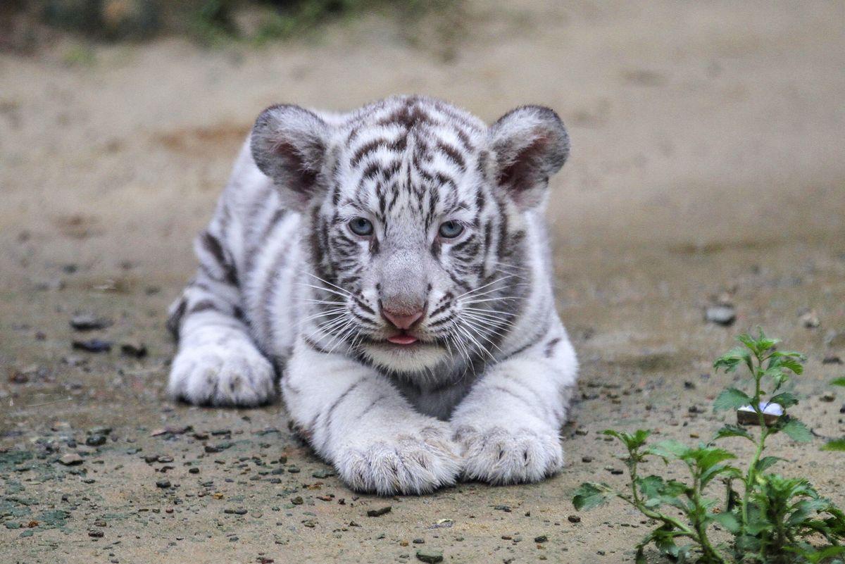 Albino Bengal tiger cub in Chittagong, Bangladesh