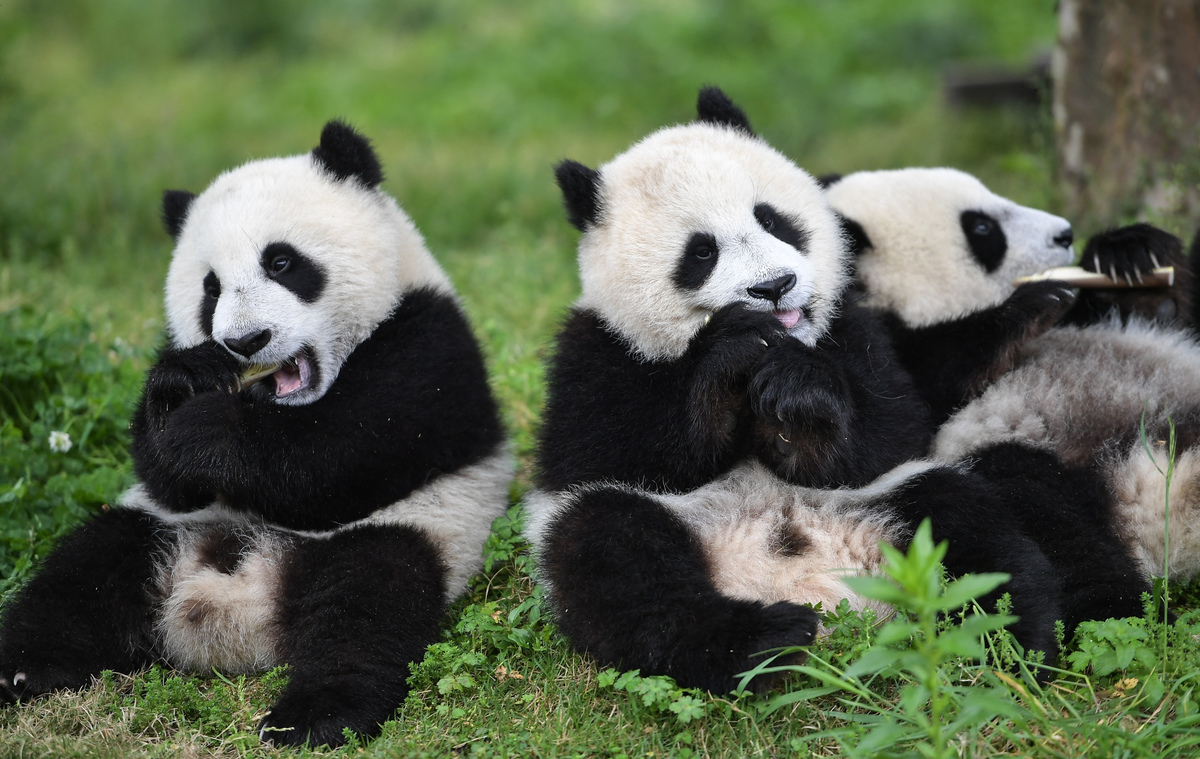 Giant pandas at conservation centre in Wolong
