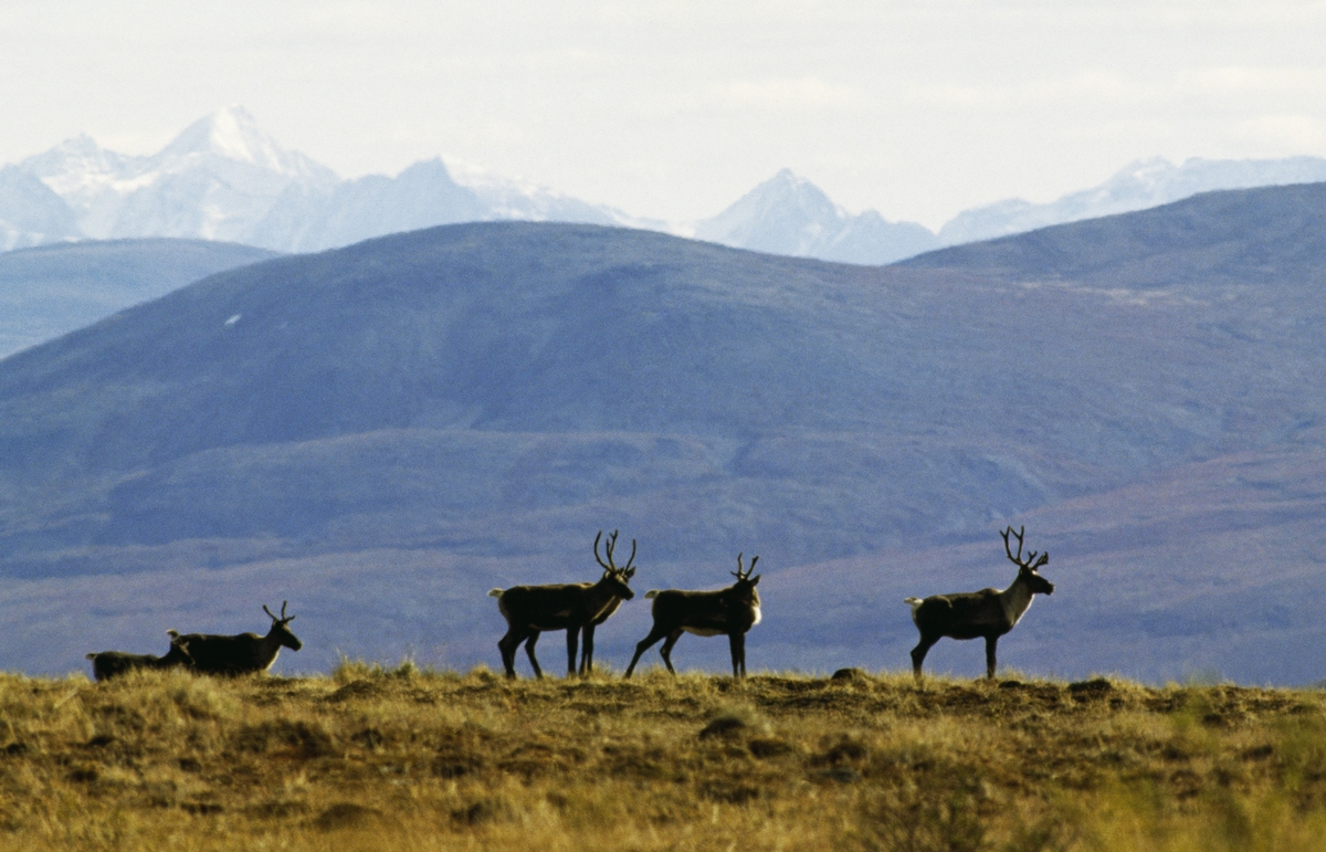 Woodland Caribou, Mackenzie Mountains, Yukon 2003