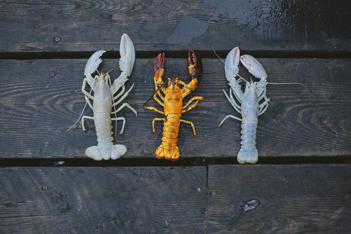 Two albino lobsters and one orange 2014