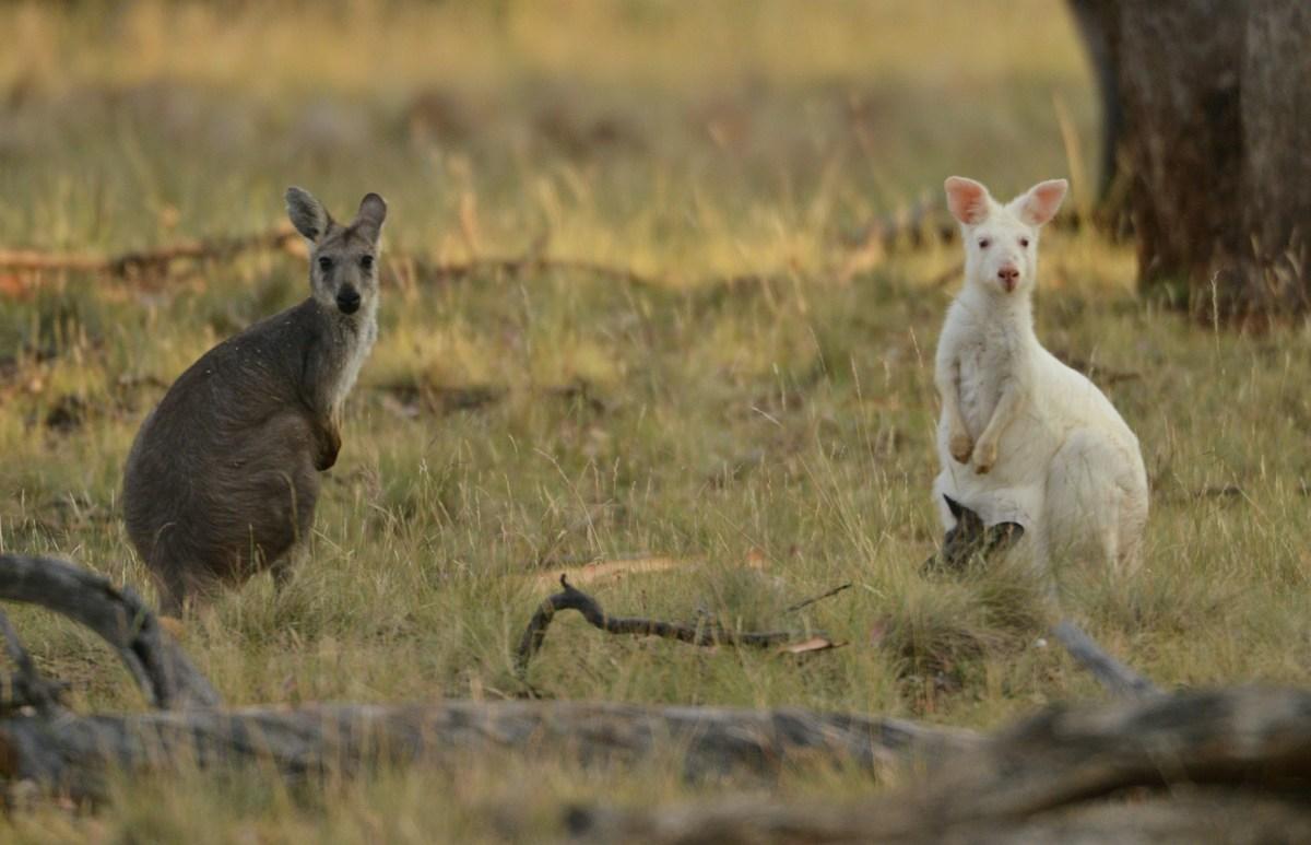 Albino kangaroo with normal colored daughter