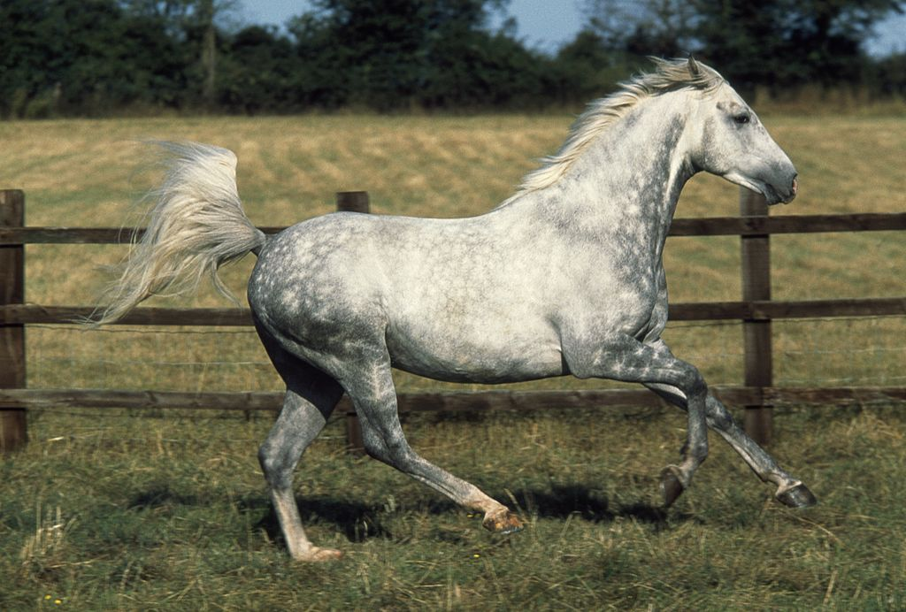 Arabian or Arab horse dapple grey