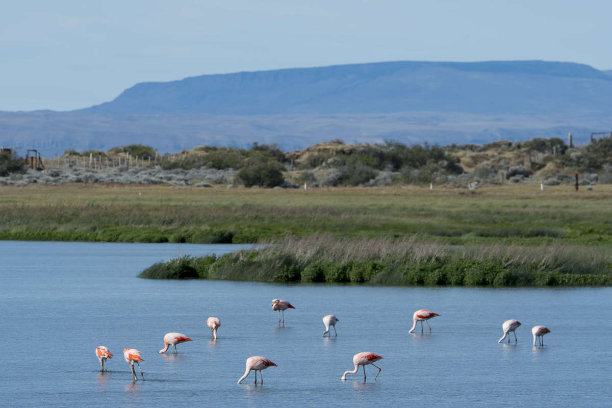 Chilean flamingos in Argentina