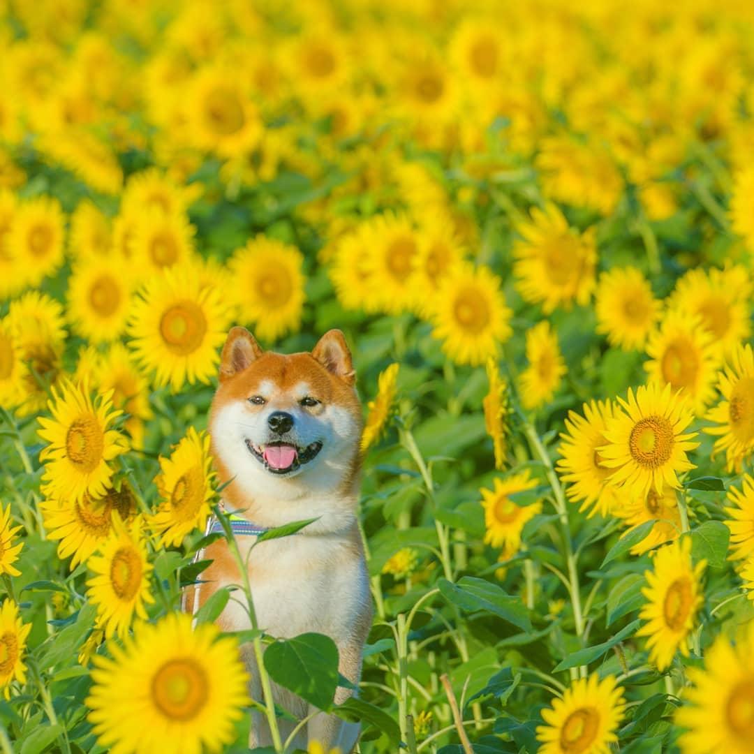 Hachi - Aug 18, 2018 - Mashiko Sunflower Field