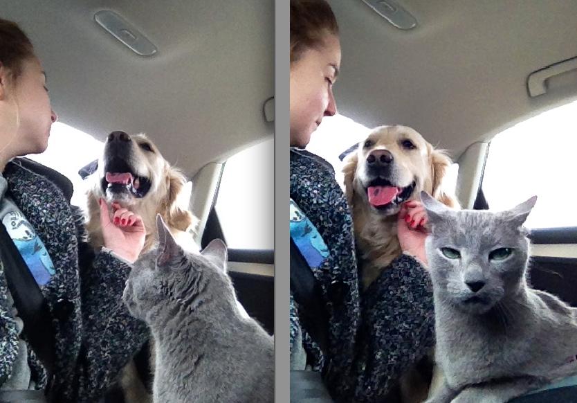 dramatic cat jealous of dog